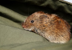 Field Vole Photo by Su Haselton
