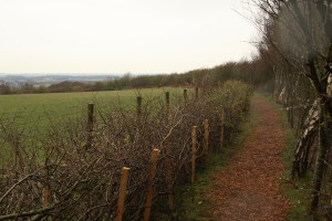 Newly layed hedge in Cabin Wood revealing views across the Lancashire Plain Photo by Su Haselton