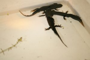 Newts Photo by Su Haselton