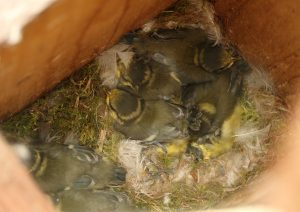 Blue Tit chicks Photo by Su Haselton