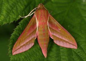 Elephant Hawkmoth Photo by Su Haselton