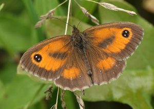 Male Gatekeeper Photo by Su Haselton