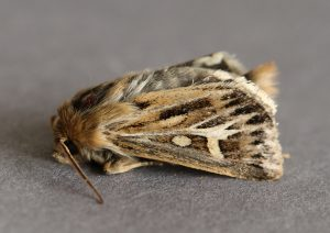 Antler Moth Photo by Su Haselton