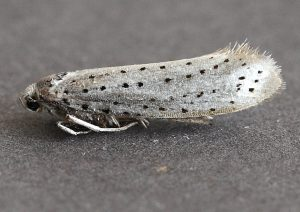 Bird-cherry Ermine Photo by Su Haselton