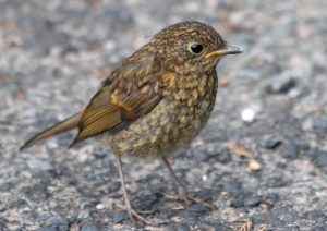 Juvenile Robin Photo by Su Haselton