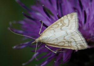 Udea lutealis Photo by Su Haselton