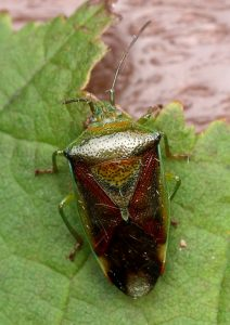 Birch Shieldbug Photo by Su Haselton