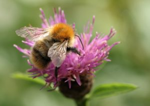 Common Carder Bumblebee Photo by Su Haselton