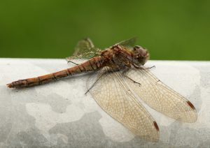 Common Darter Photo by Su Haselton