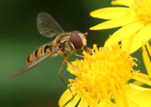 Marmalade Hoverfly Photo by Su Haselton