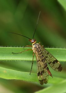 Female Scorpion Fly Photo by Su Haselton