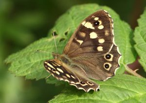 Speckled Wood Photo by Su Haselton