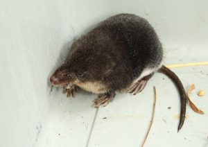 Water Shrew Photo by Su Haselton