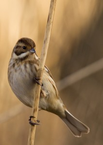 Reed Bunting Photo by Su Haselton