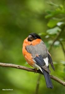 Male Bullfinch Photo by Su Haselton