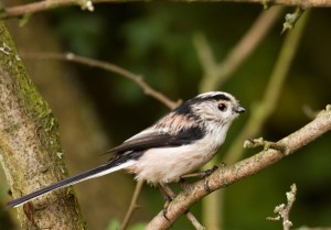 Long-tailed Tit Photo by Su Haselton