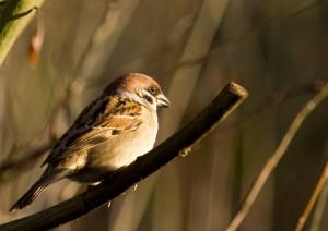 Tree Sparrow Photo by Su Haselton