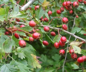 Hawthorn Photo by Su Haselton