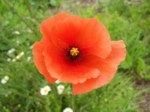 Poppy Photo by Ree Payne