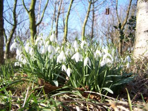 Snowdrops Photo by Ree Payne