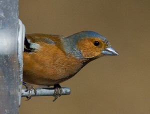 Chaffinch Photo by Mark Walters