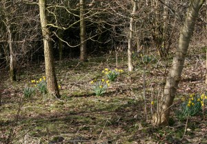 Daffodils & Sunshine Outcrop Public Footpath Photo by Su Haselton