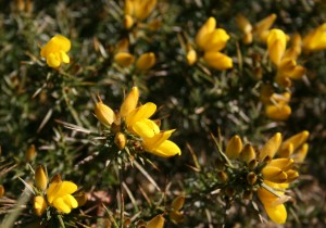 Gorse Photo by Su Haselton