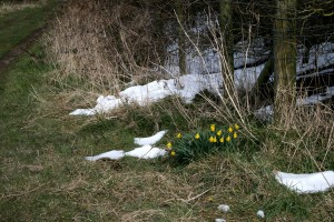Snow & Daffodils Outcrop Public Footpath Photo by Su Haselton