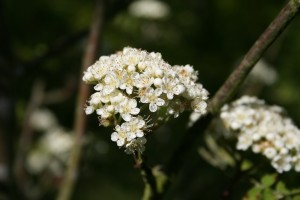 Hawthorn Blossom Photo by Su Haselton
