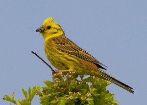 Male Yellowhammer Photo by Mark Walters