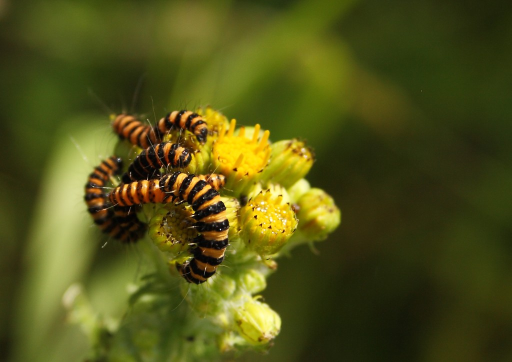 Cinnabar Moth Caterpillars Photo by Su Haselton