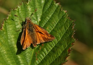 Large Skipper Photo by Su Haselton