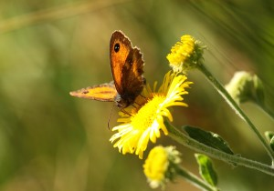 Gatekeeper Butterfly Photo by Su Haselton