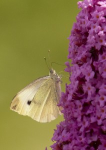 Small White Photo by Su Haselton