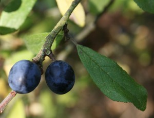 Sloes Photo by Su Haselton