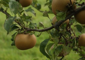 Egremont Russet Photo by Su Haselton