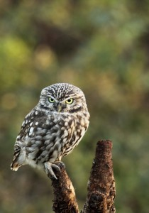 Little Owl Photo by Su Haselton