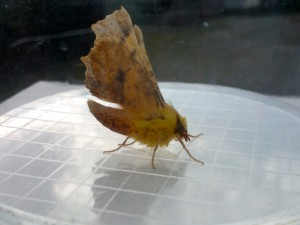 Canary-shouldered thorn Photo by Katherine Morley