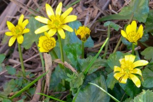 Lesser Celandine Photo by Viv Downes