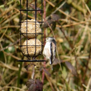 Long tail tit minus tail Photo by Viv Downes