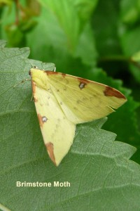 Brimstone Moth Photo by Liz Brotherstone