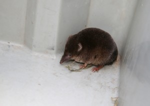 Common Shrew Photo by Su Haselton