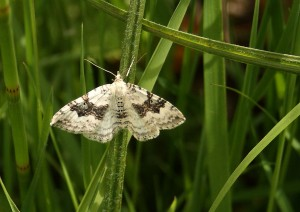 Silver Ground Carpet Moth Photo by Su Haselton
