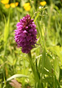 Southern Marsh Orchid Photo by Su Haselton