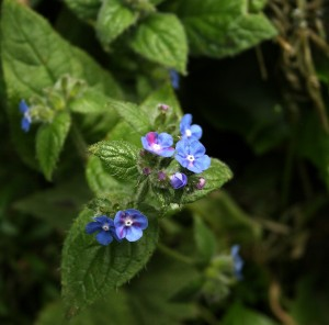 Green Alkanet Photo by Su Haselton
