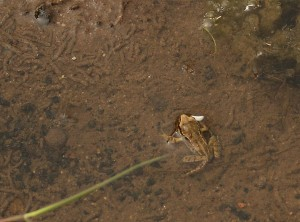 Froglet in 5 Acre Pond Photo by Su Haselton