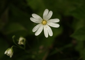 Greater Stitchwort Photo by Su Haselton
