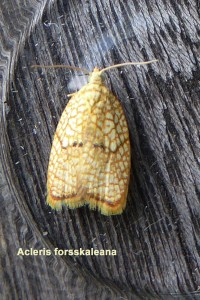 Acleris forsskaleana Photo by Liz Brotherstone