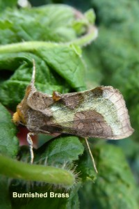 Burnished Brass Photo by Liz Brotherstone