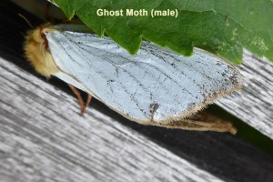 Ghost moth (male) Photo by Liz Brotherstone